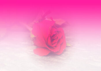 Rose with graded pink and white background
