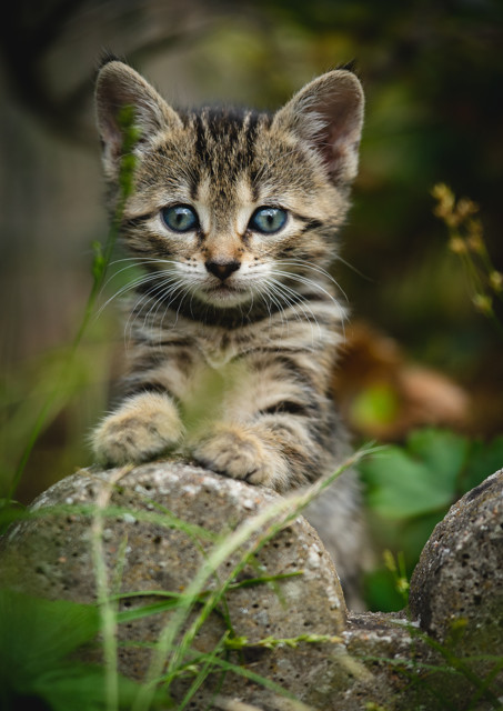 Kitten resting paws on a stone