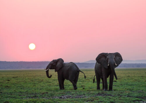Elephants on plain at sunset