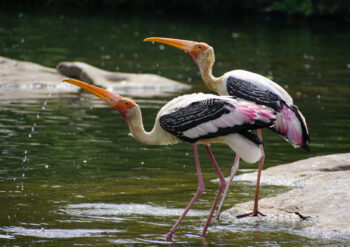 Two yellow billed storks in water