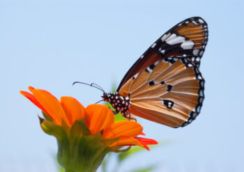 Plain tiger butterfly on an orange flower