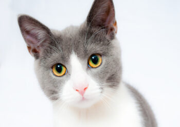 Close up of grey and white cat