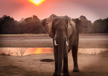 Elephant standing near water at sunset