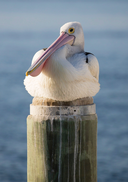 Pelican sitting on a post