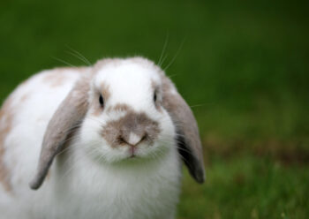White and pale brown lop eared rabbit