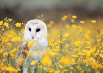 Barn owl in a field of yellow flowers