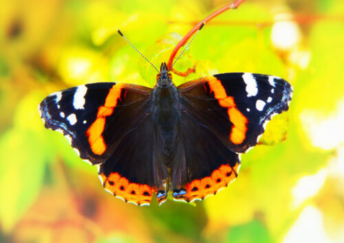 Red admiral butterfly on a yellow flower