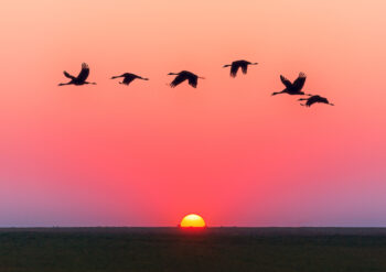Silhouette of flying birds at sunset