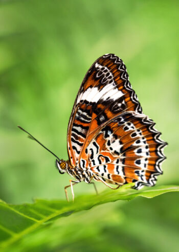 Orange lacewing butterfly on a leaf