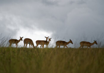 A number of deer grazing in a field