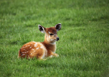 Young fawn sitting on grass