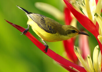 Yellow bellied sun bird