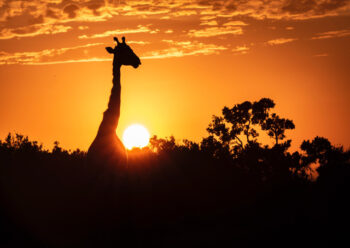 Silhouette of a giraffe at sunset