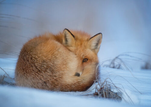 Fox laying curled up on snowy ground