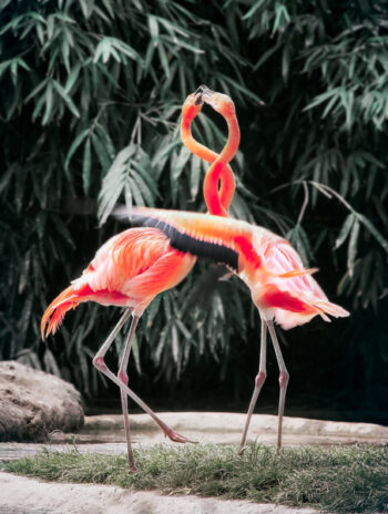 Two flamingos with intertwined necks