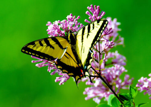 Swallowtail butterfly on a pink flower