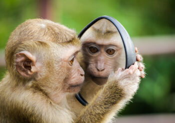 Monkey looking into car wing mirror