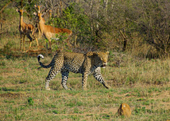 Cheetah near some woodland with two deer watching