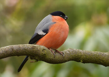 Bullfinch sitting on branch