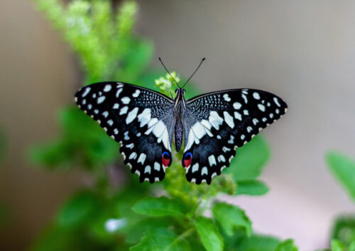 Chequered swallowtail butterfly on a leaf