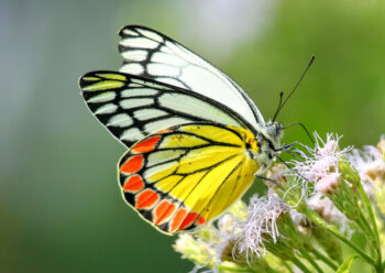 Painted Jezebel butterfly on a white flower
