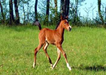 Brown foal running in field