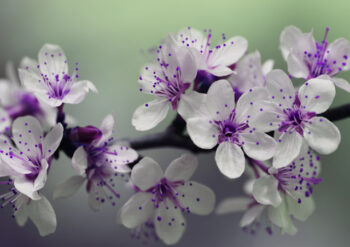 White flowers with purple centre