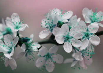 White blossom flowers with green centre