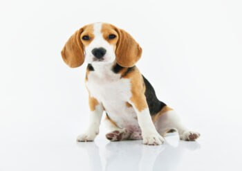 Basset hound sitting down with a white background