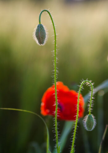Poppy and buds