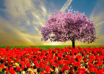 Field of colourful tulips and pink blossom tree