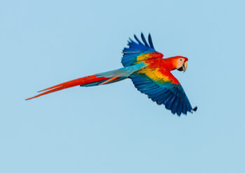 Colourful parrot in flight