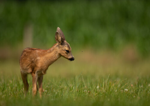 Young fawn in long grass