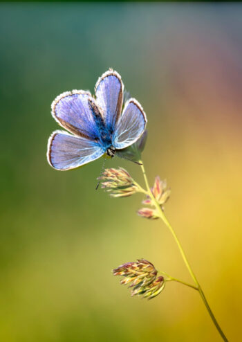 Common blue butterfly on leaf