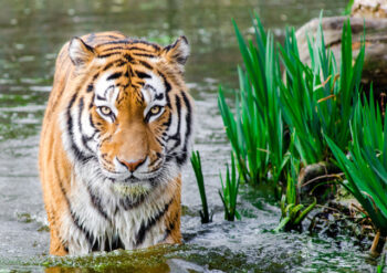 Tiger in a river