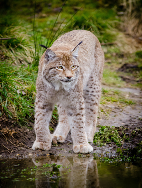 Lynx at the water's edge