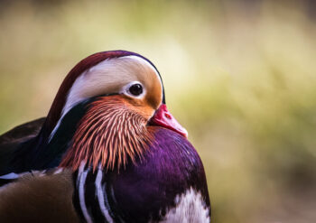 Close up of mandarin duck
