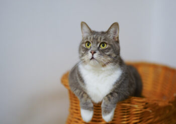 Grey and white cat sitting in a wicker basket with its paws out