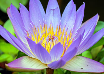Pale purple water lily