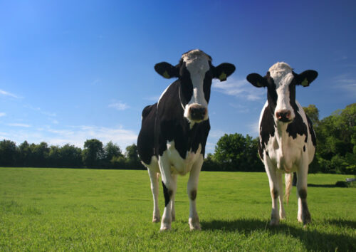 Two black and white cows in a field