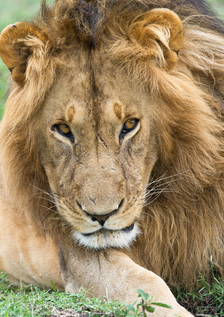 Close up of a male lion
