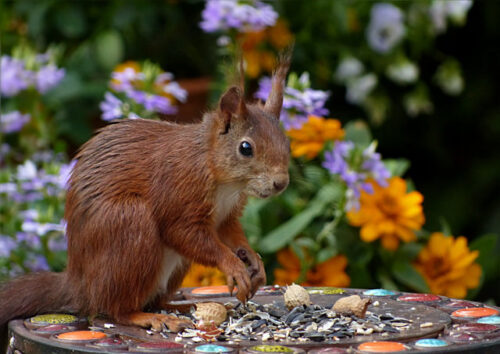Red squirrel sitting on bird table