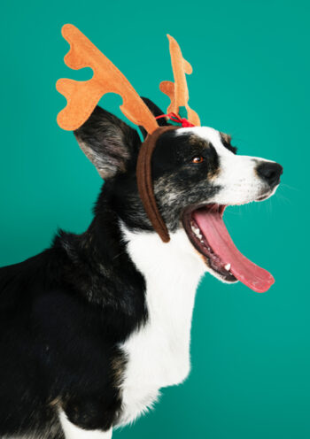 Dog wearing alice band antlers
