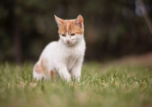 Cute white and ginger kitten sitting in long grass