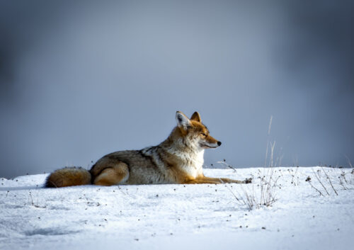 Fox laying down on the snow