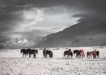 Horses on a snow covered plain with mountain in background