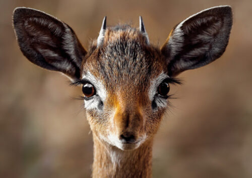 Close up of a young antelope's face