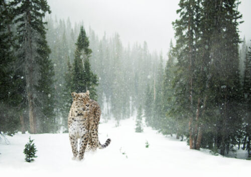 Cheetah in the snow