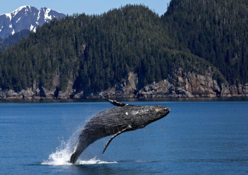 Whale jumping out of ocean with mountains and forest background
