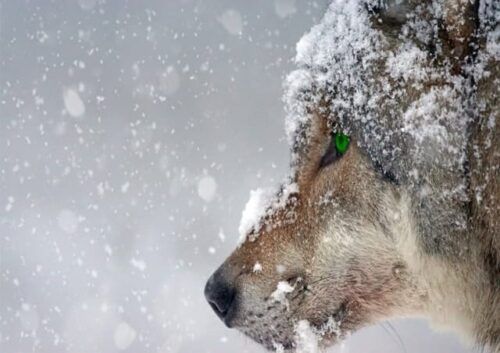 Close up of wolf with green eyes in the snow